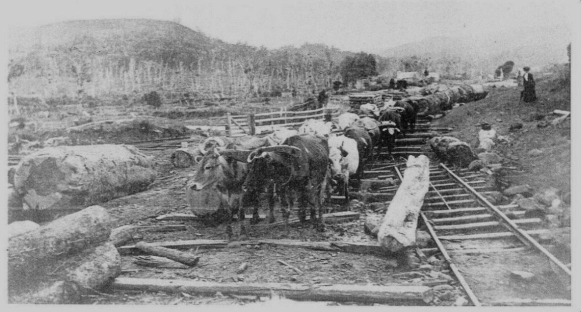 Bullocks pulling logs - Journal 10